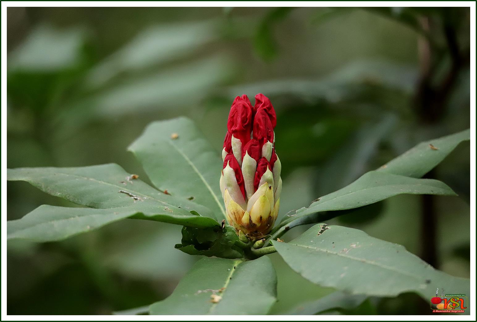 Flor de Azálea