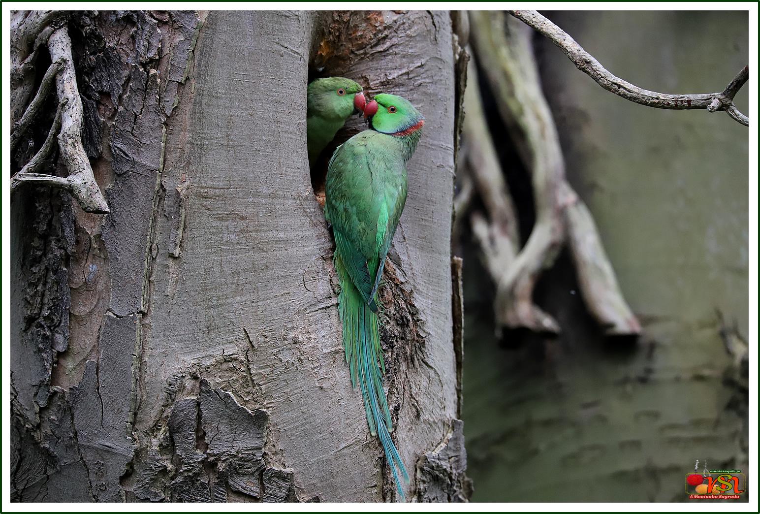 Periquito-de-colar (Psittacula krameri)