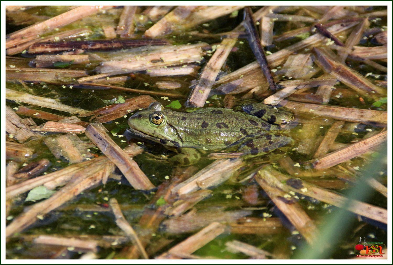 Rã-dos-pântanos ou Rã-europeia-comum (Pelophylax ridibundus)