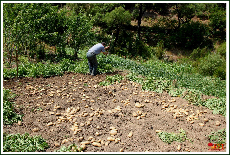 Arrenca de batatas