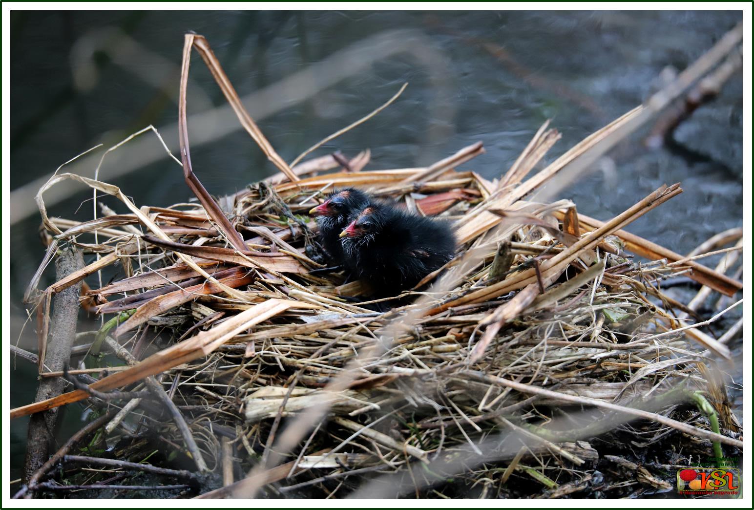 Galeirão-comum (Fulica atra)