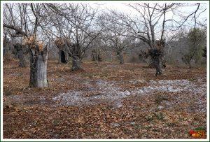 Campo de castanheiros (Castanea sativa)