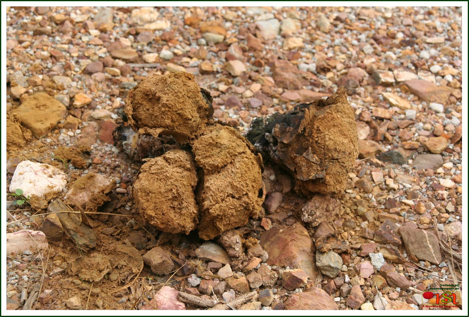 Pisolithus tinctorius ou 'Bufa de velha'