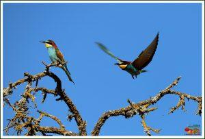 Abelharuco-comum ou europeu (Merops apiaster)