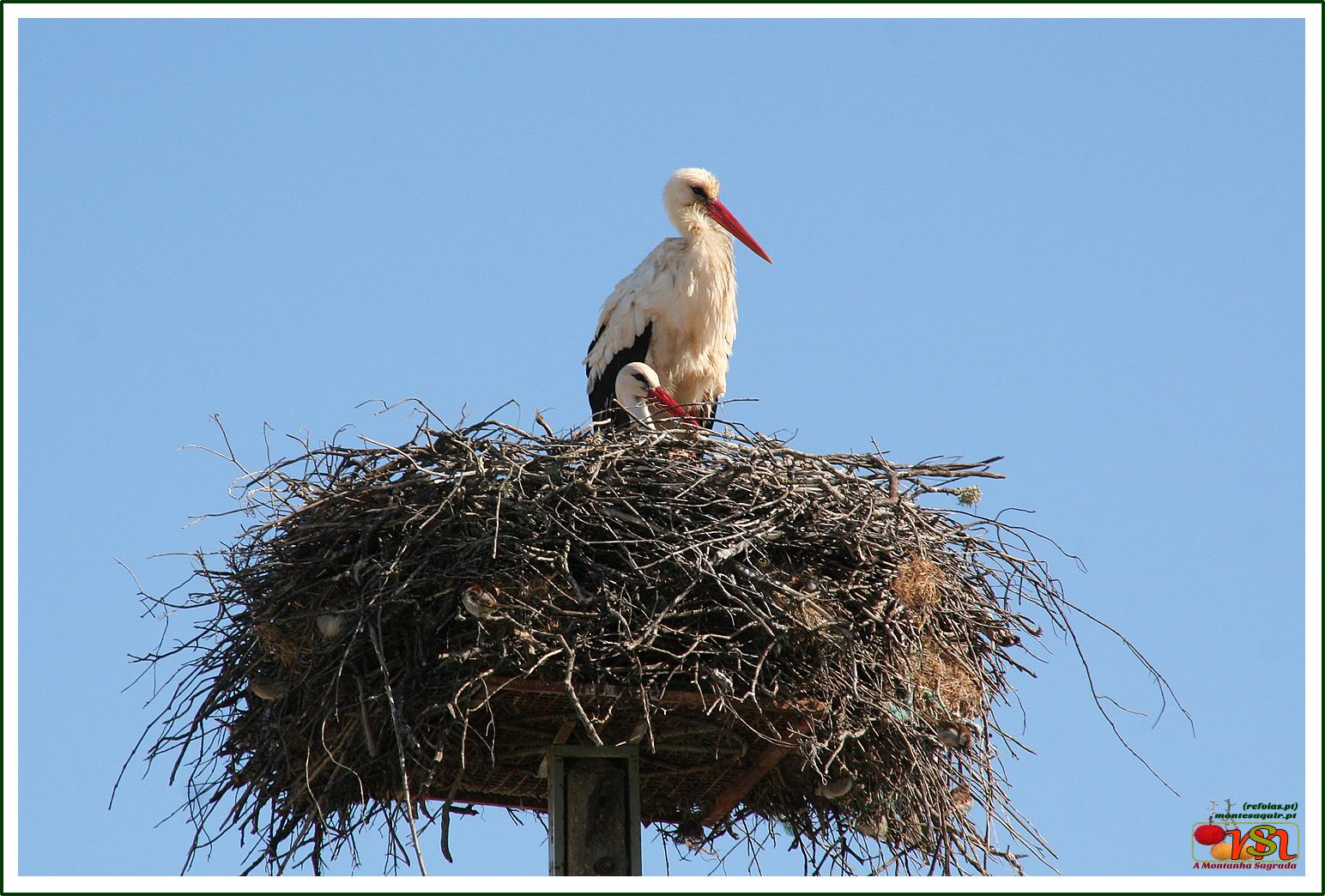 Cegonha-branca (Ciconia ciconia)