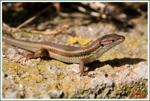 Lagartixa-do-mato-ocidental (Psammodromus manuelae)