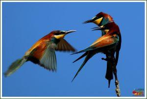 Belharós (Abelharuco-comum - Merops apiaster)